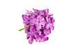 beautiful purple syringa lilac blossoms isolated on white background