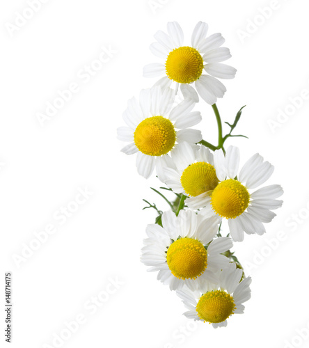 Chamomiles isolated on white background. Matricaria chamomilla