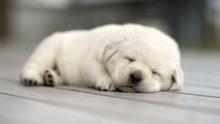 Cute Sleeping Puppy, Be Calm