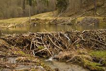 Beaver Dam In The Swamp