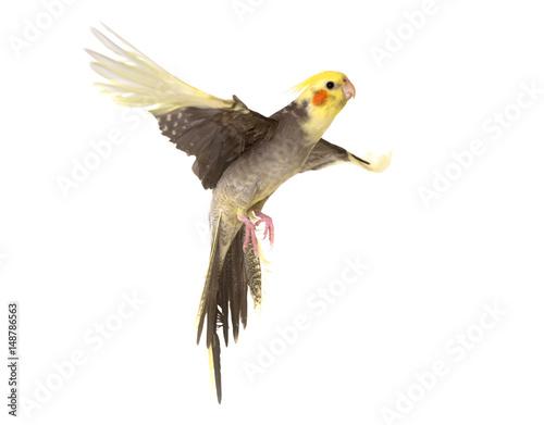 Fond de hotte en verre imprimé Perroquets cockatiel flying in studio