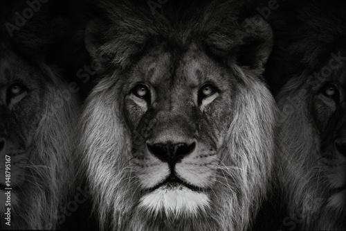 Fototapety, obrazy: Lions