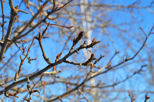 Branches of an apple tree with buds on blue sky background