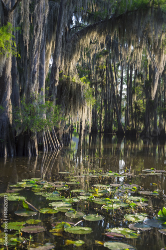 Photo Spanish moss hanging from bald cypress trees catches morning light in a scenic v