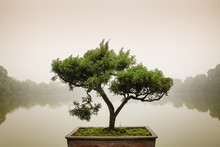Japanese Bonsai Tree In Pot At...