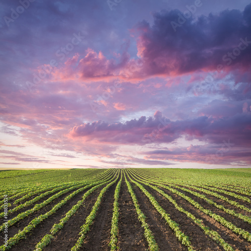 Young soybean crop meadow at idyllic sunset Wall mural