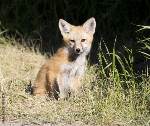 Kit fox in grass with black background - Buy this stock photo and