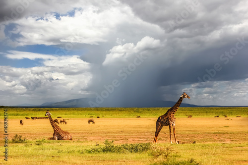 African giraffes on the background of a stormy sky. Africa. Tanzania.