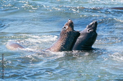 Northern Elephant Seals fighting in the Pacific at the Piedras Blancas Elephant Poster
