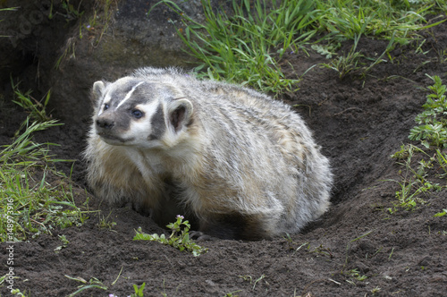 Photo American Badger