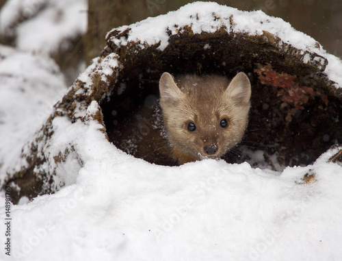 Fotografija  Pine martin hiding in hollow log in snow during winter time