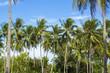 Coconut palm tree on tropical island. Bright blue sky background.
