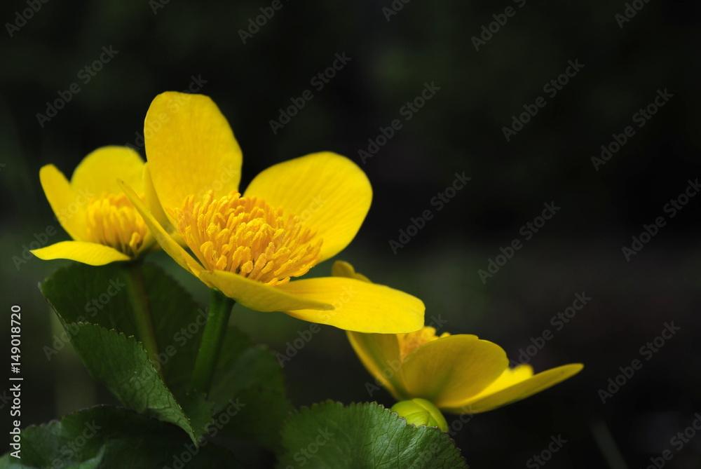 Fototapeta Żółty wiosenny kwiat jaskra, knieć błotna - obraz na płótnie