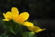 Żółty wiosenny kwiat jaskra, knieć błotna