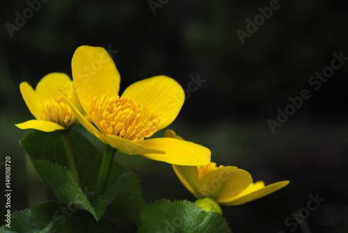 Fototapeta Żółty wiosenny kwiat jaskra, knieć błotna obraz na płótnie