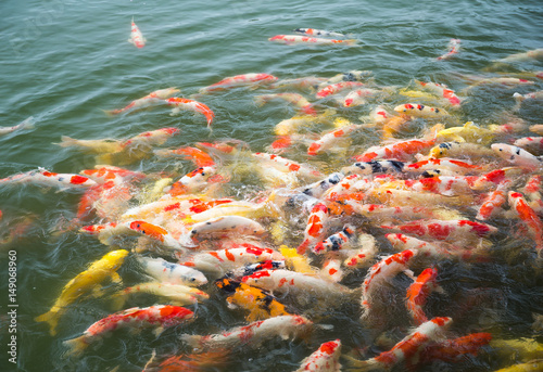 Poster Coral reefs Koi fish in pond in the garden