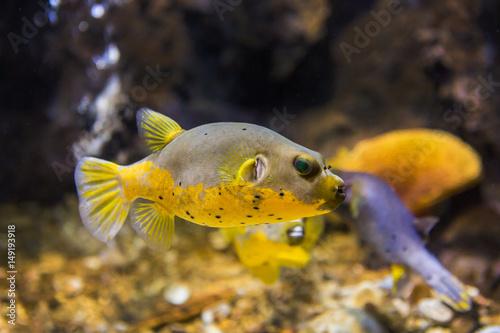 Foto op Plexiglas Indonesië Black Spotted or Dog Faced Puffer fish (Arothron nigropunctatus) in Aquarium