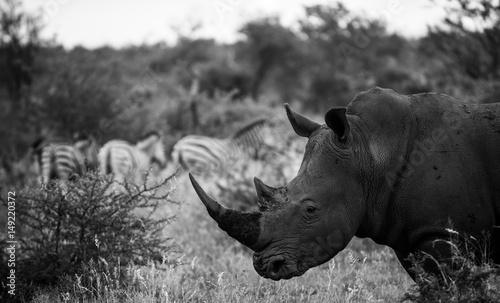 Spoed Foto op Canvas Neushoorn Monochrome White rhino