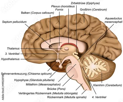 Querschnitt durch das menschliche Gehirn, vektor illustration mit ...