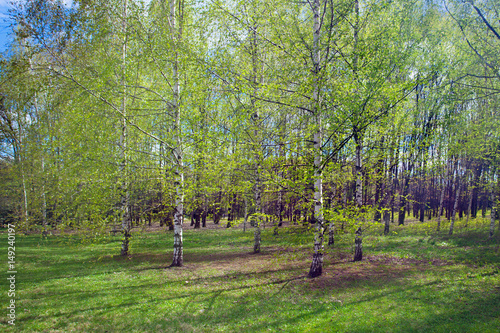Birch grove in the spring landscape background Wallpaper Mural