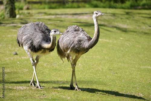 Two Greater Rheas (Rhea americana) walking on grass