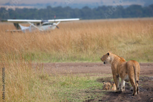 Photo A lion with cubs at an airstrip on the Masai Mara, Kenya