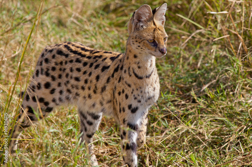 Photo Serval Cat hunting in the Masai Mara, Kenya