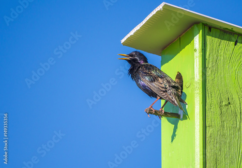 Canvas Print Starling in birdhouse