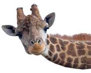 FototapetaGiraffe head face