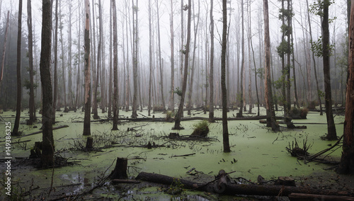 Obraz na plátně  Panoramic view of a misty swamp in the forest with copy space