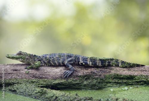 Photo Young alligator basking on a log