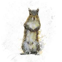 American Gray Squirrel Waterco...