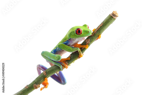Tuinposter Kikker red eyed tree frog isolated on white background