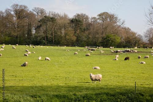 Fotografia, Obraz  Sheep grazing on farmland in Somerset England