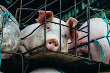 Pigs Suffer In Cages On The Wa...