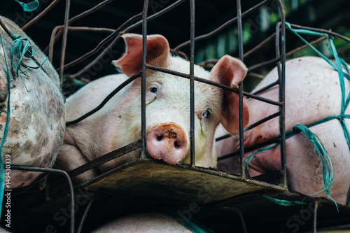 Pigs suffer in cages on the way to the slaughterhouse Canvas Print