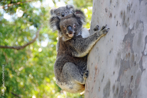 Poster Koala Elanora Koalas mother and joey in Gumtree, Queensland Australia