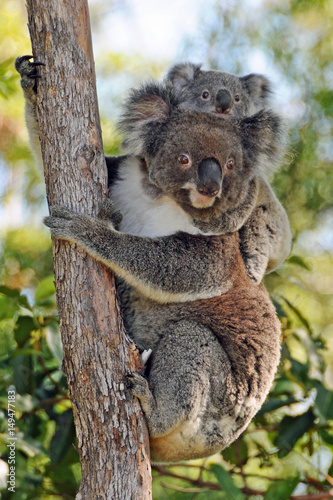 Photo Stands Koala Koalas mother and baby - Gold Coast, Queensland Australia