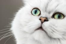 Smiling Persian Chinchilla Cat Silver Shade, Close-up