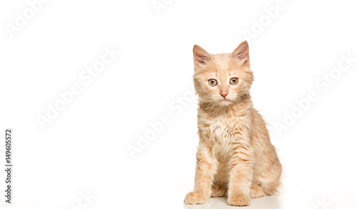 Tablou Canvas The cat on white background