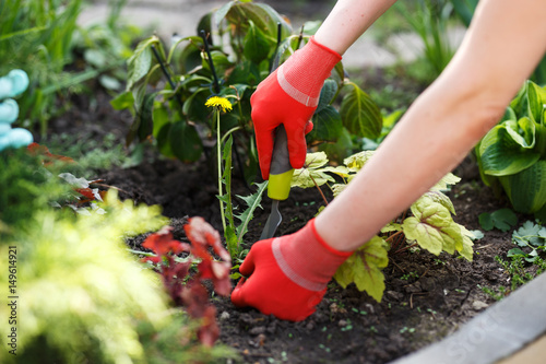 Fototapeta Photo of gloved woman hand holding weed and tool removing it from soil. obraz