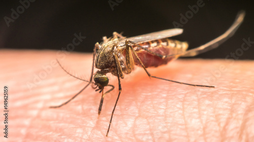 Macro of mosquito (Aedes aegypti) sucking blood Wallpaper Mural