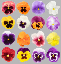 Set Of Colorful Pansy Flowers Isolated On Gray Background.