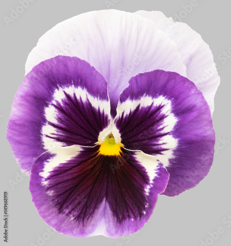 Purple white pansy flowers isolated on gray background.