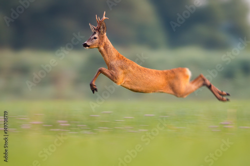 Spoed Foto op Canvas Ree Sprinting roe deer (capreolus capreolus) buck in natural summer meadow with flowers. Dynamic action photo of wild animal running. Roebuck with big antlers jumping. Energetic vital male roe rushing.