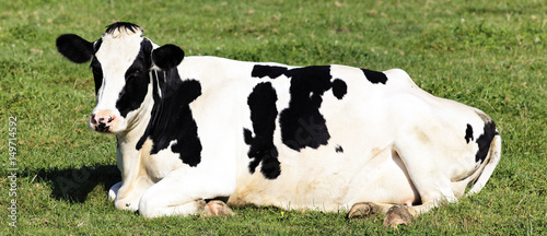 Staande foto Koe Black and White Cow lying down
