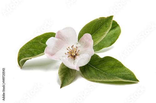 Tableau sur Toile Quince flower