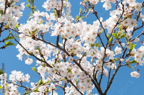 Photo  Sakura. Cherry blossoms japan. Pink spring blossom background.