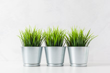 Fresh Green Wheat Grass In Pot