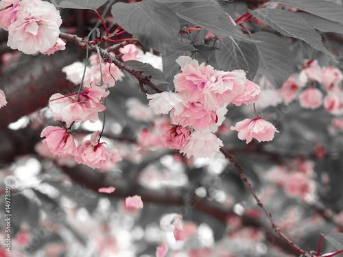 rozowa-wisnia-kwitnie-z-szarymi-liscmi-i-spada-kwiatami-kolor-sztuki